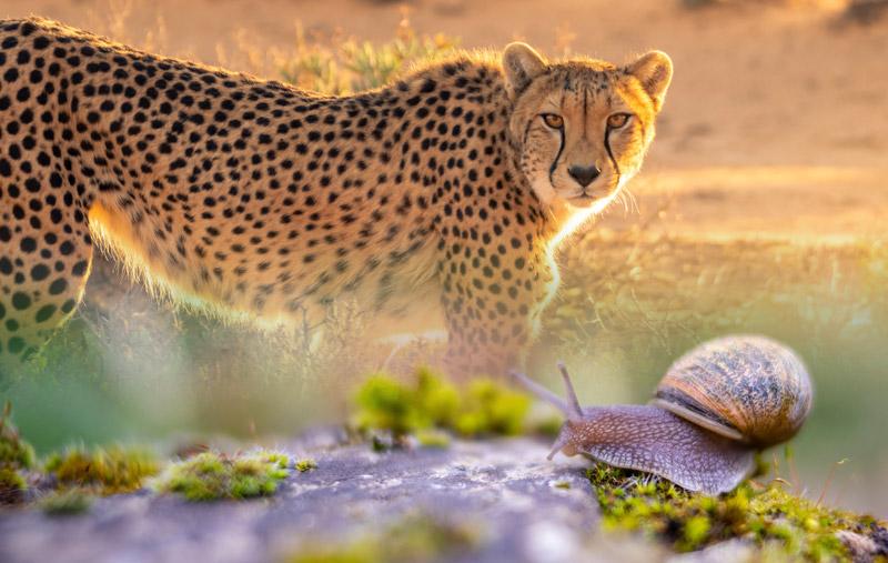 E' meglio essere lumaca o ghepardo?